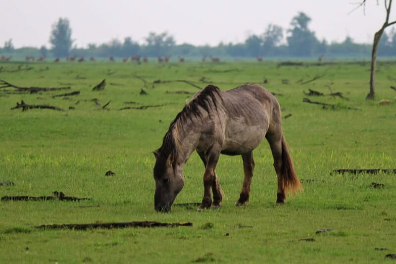 Pony at ecotourism site Oostvaardersplassen, a wetland nature reserve in the Netherlands #EcoTourism #Netherlands