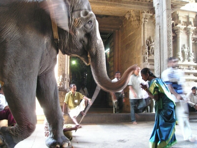 Temple elephant giving a blessing in India #IndianElephants #WorldElephantDay