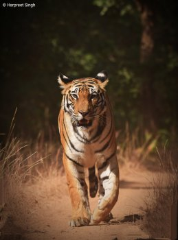 Best tourist places in Madhya Pradesh Bandhavgarh tiger