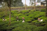Tea Plantation in Thekkady, Kerala