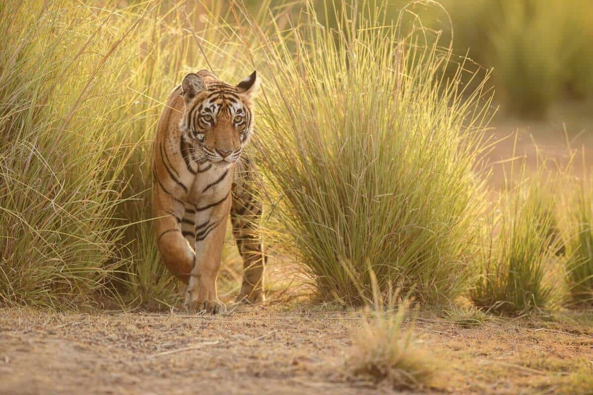 Wildlife and tiger tour in India