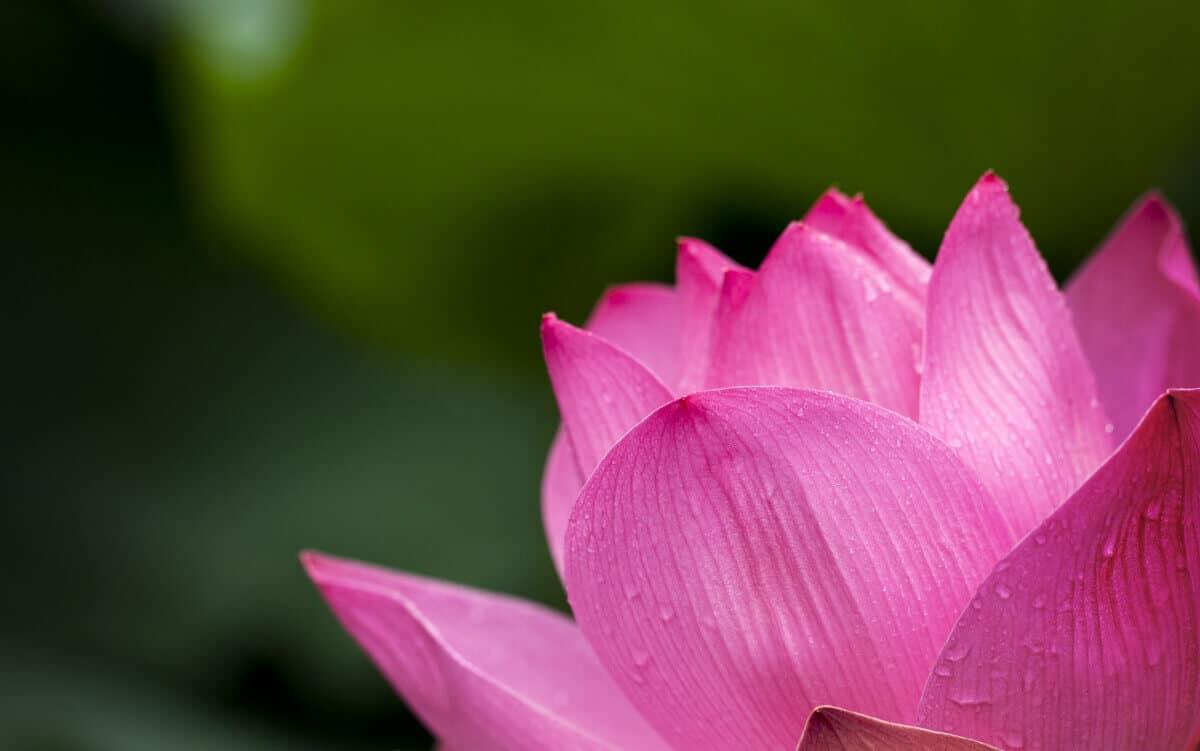 India ashram lotus flower