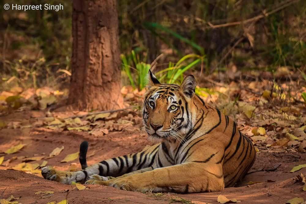 Tiger at Bandhavgarh, India