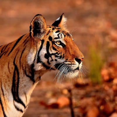 Guide to Bandhavgarh National Park and Tiger Reserve