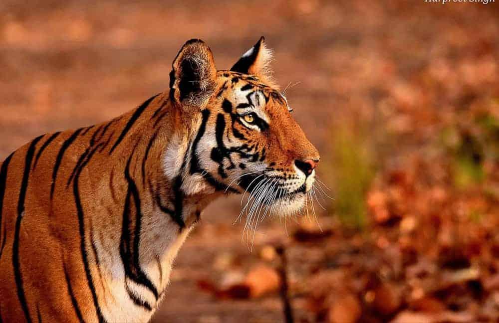 Tiger at Bandhavgarh National Park Tiger Reserve