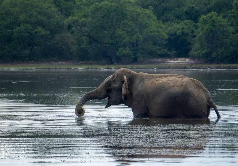 elephant in water at Wilpattu National Park, Sri Lanka