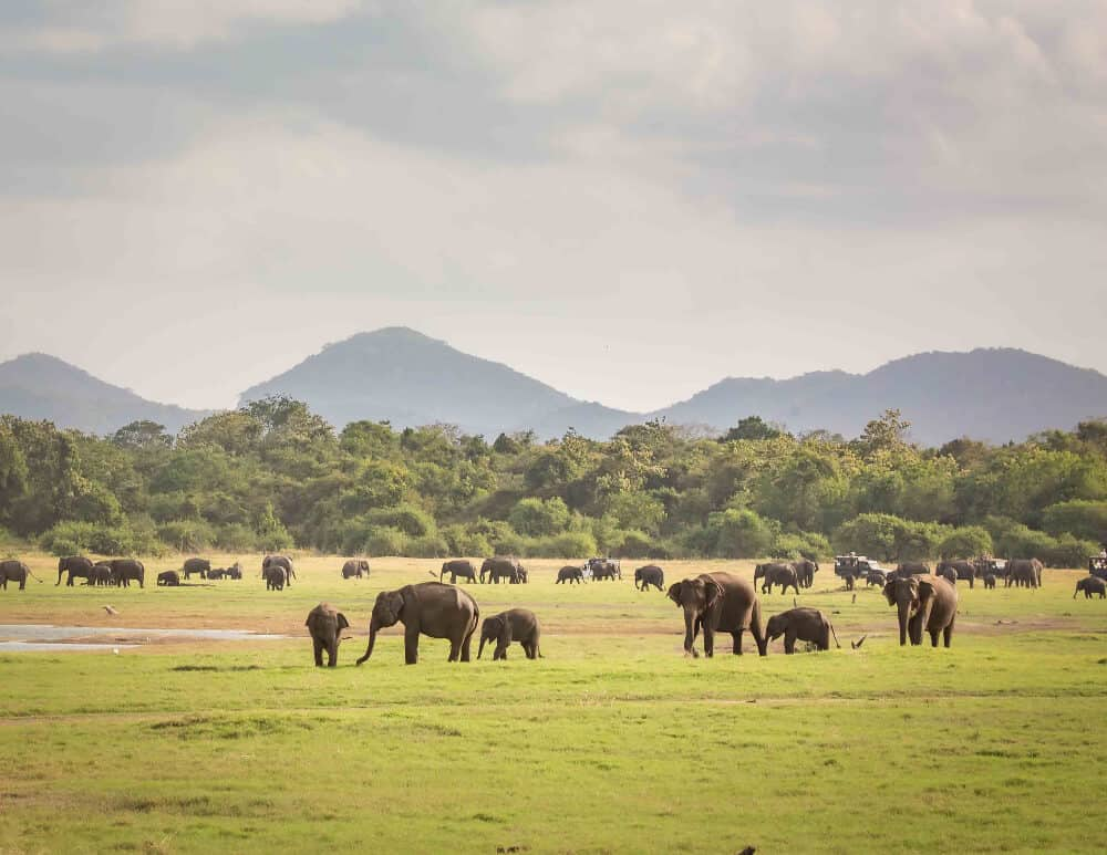 herd of elephants at Kaudulla National Park, Sri Lanka