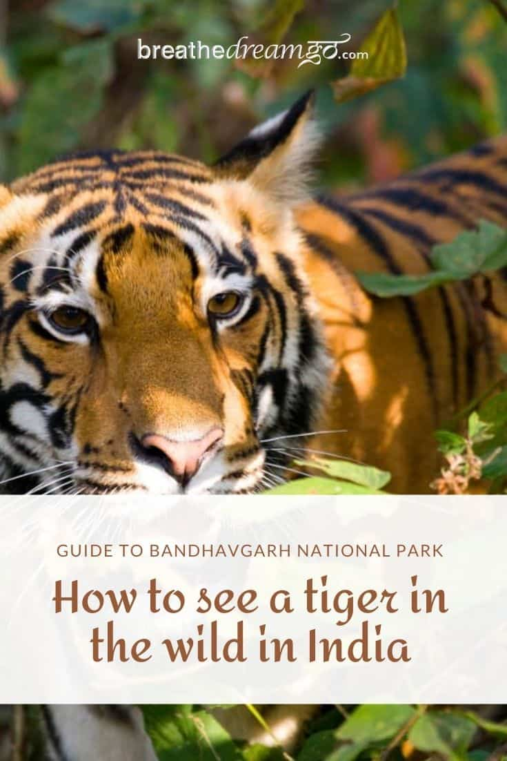 Tiger in Bandhavgarh park India
