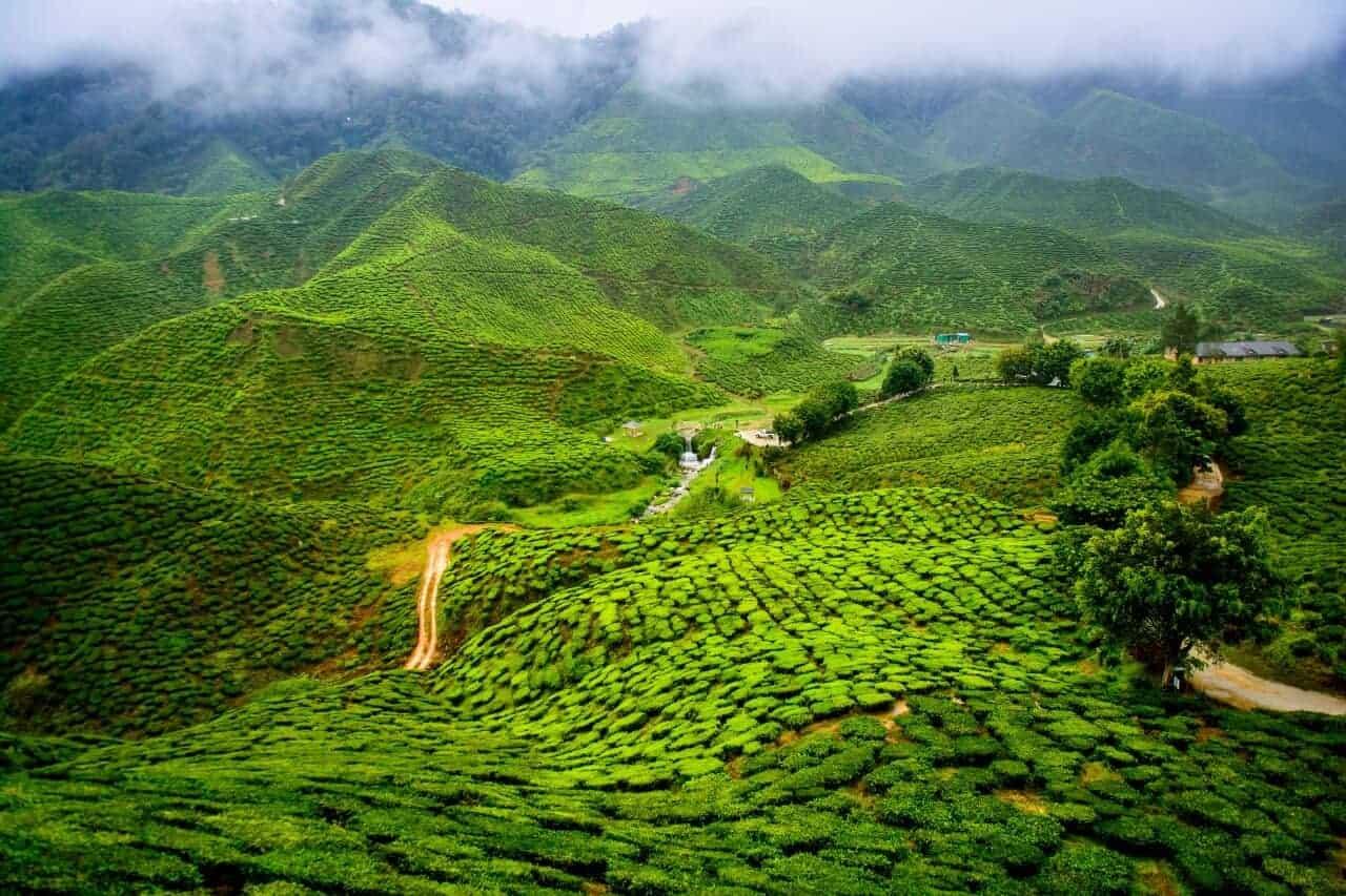 Tea in darjeeling and tea gardens
