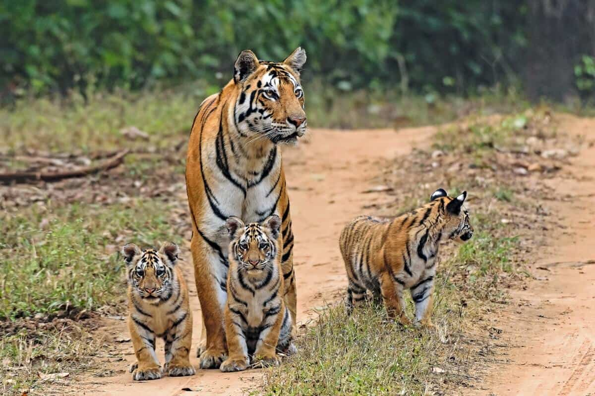 a tiger and cubs seen on safari in India