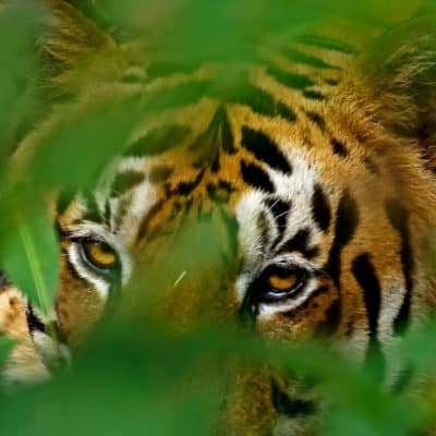 All about tiger safaris in India