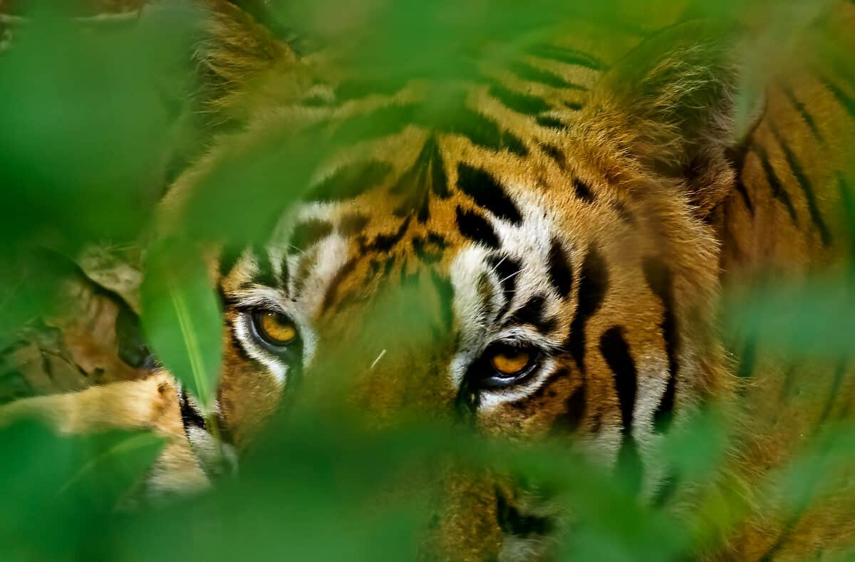 a tiger seen on safari in India