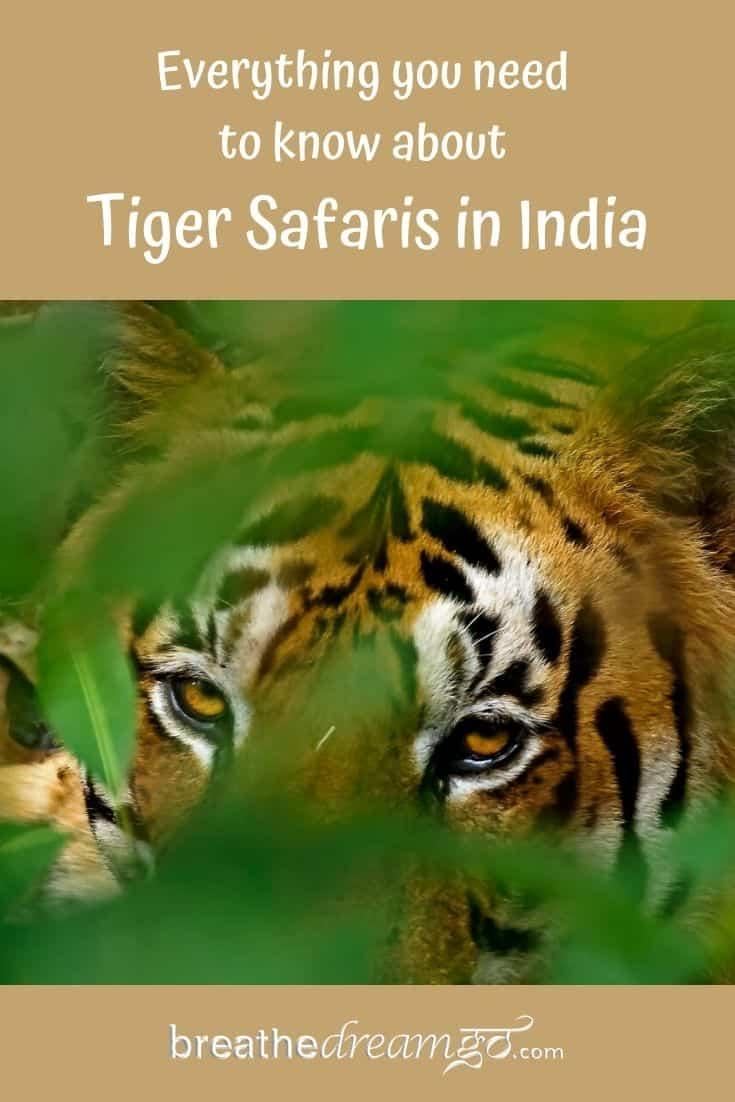 tiger in India as seen on safari