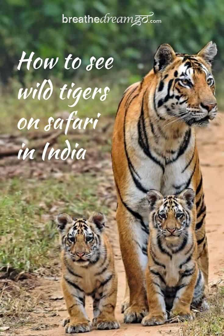 tiger and cubs in India as seen on safari