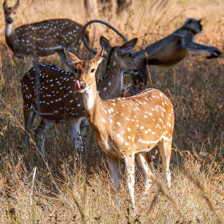 deer in Satpura Tiger Reserve