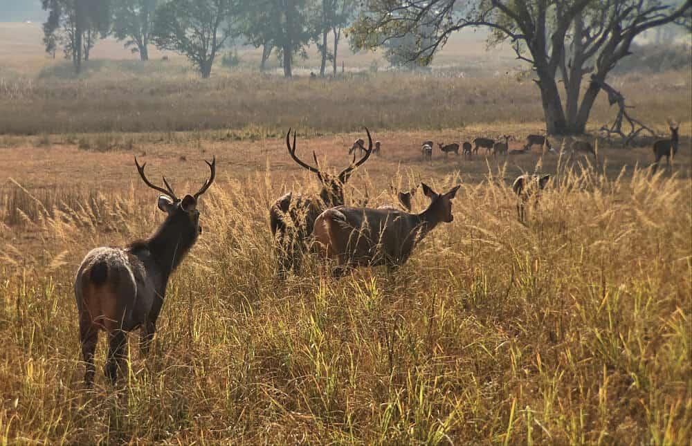 Barasingha swamp deer in Kanha national park, a unique animal of India