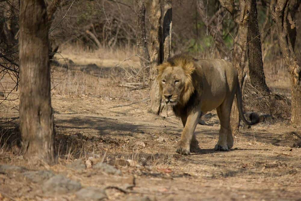 Asiatic lion is an animal of India