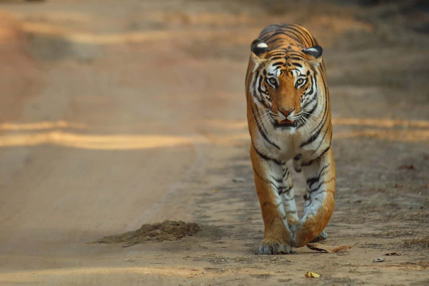 Bengal tiger is national animal of India
