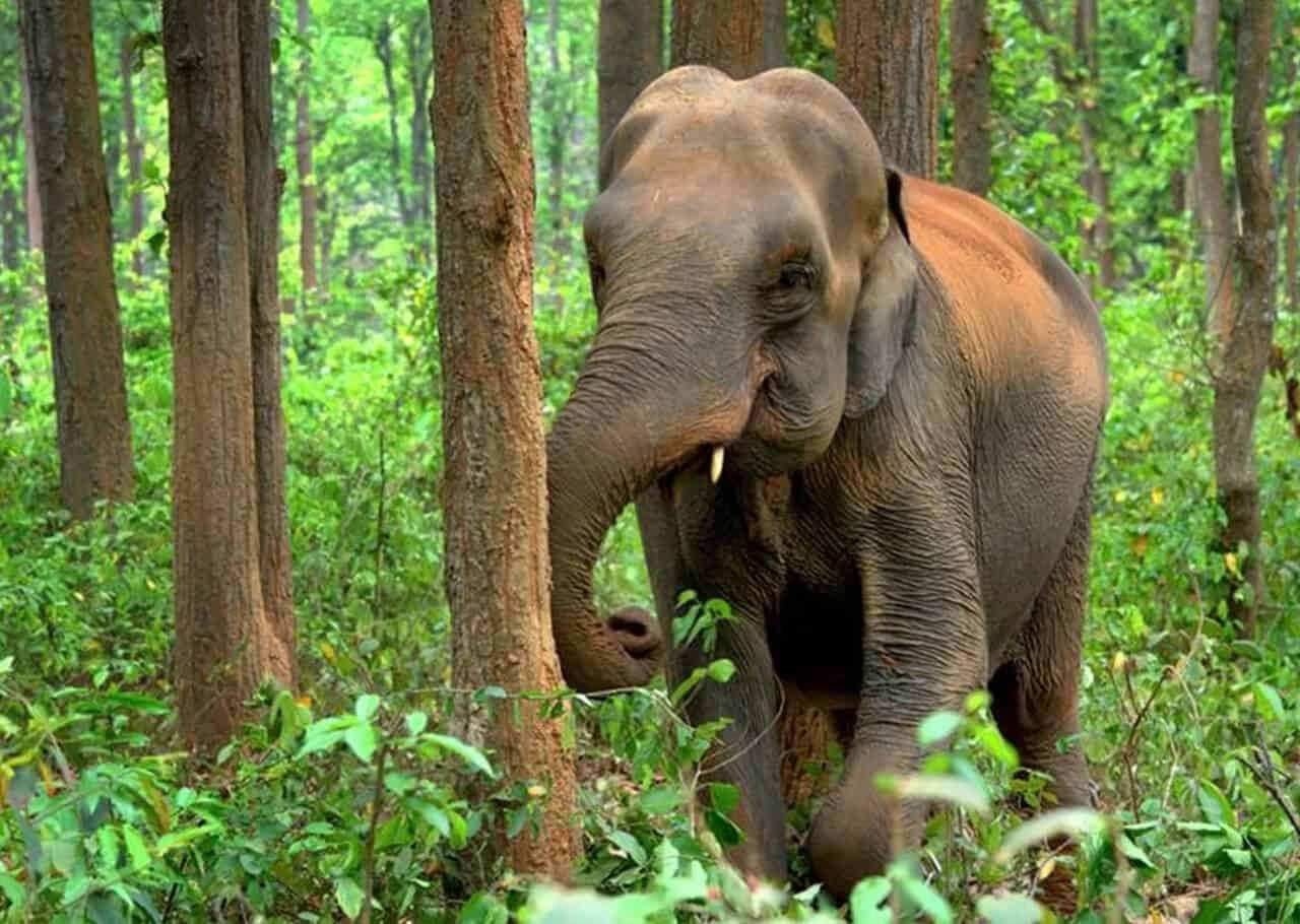 Asian elephant an animal of india