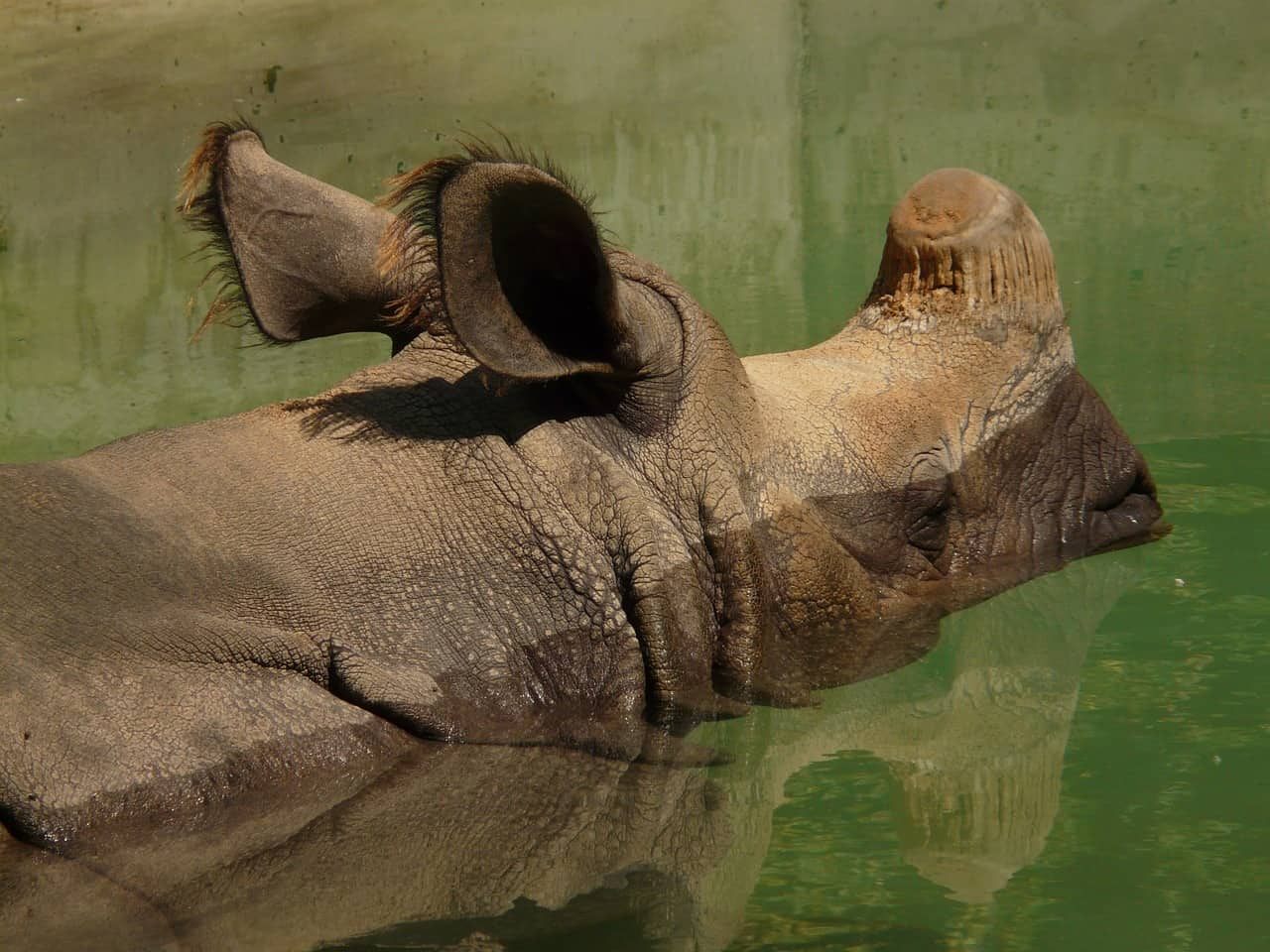 Indian rhinoceros is an animal of India