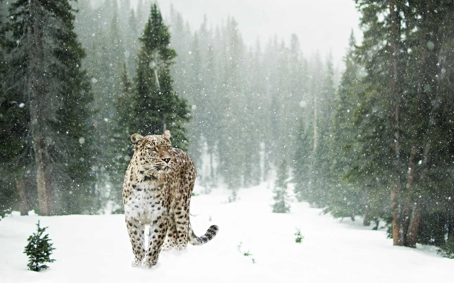 snow leopard is an endangered animal of India