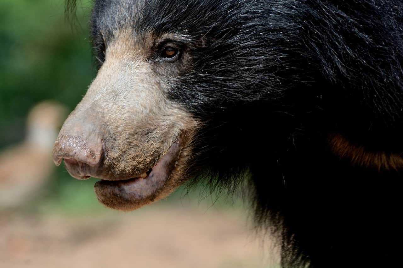 Sloth bear is an animal of India