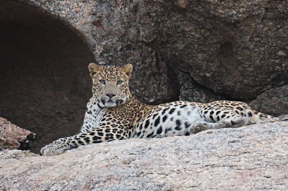 Leopard is an animal of India